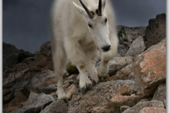 Nature Mountain Goats And Big Horn Sheep